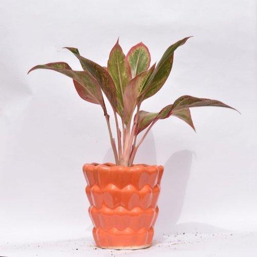 Indoor Aglaonema Lipstick Plant