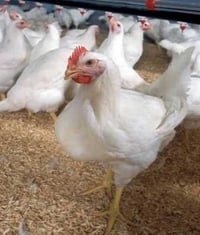Pure And Healthy Poultry Chickens