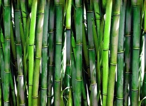 Natural Fresh Green Bamboo