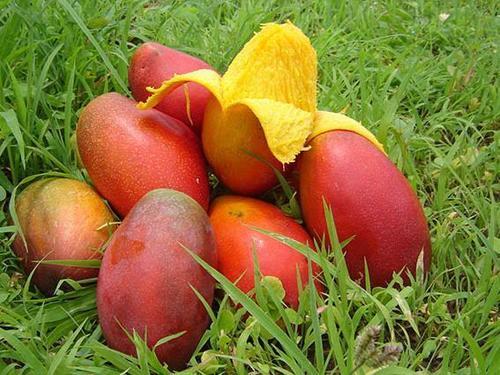 Fresh Organic Ripe Mangoes