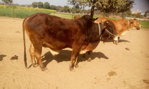 Brown Female Sahiwal Cows