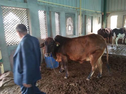 High Male Sahiwal Cows