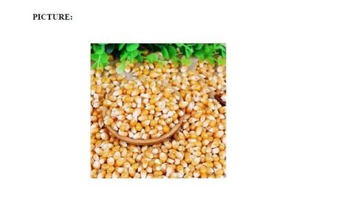 Pure Dry Yellow Corn