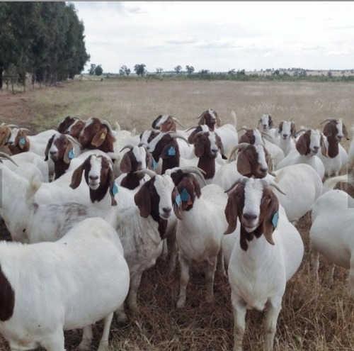 Brown And White 100% Full Blood Live Boer Goats