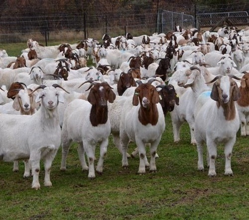 Brown And White Full Blood Live Boer Goats