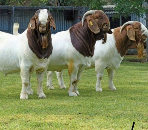 Healthy Full Blood Life Boer Goats Certifications: Iso