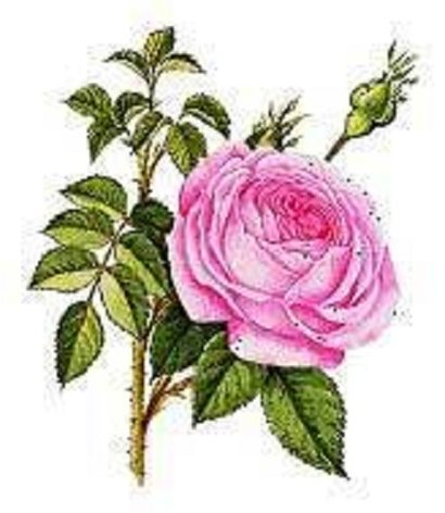 Fragrance Compound 100% Pure Rose Oil