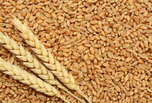 Brown Indian Whole Organic Wheat