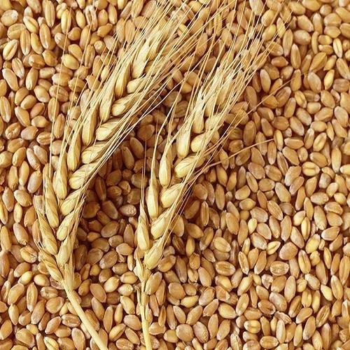 A Grade Organic Wheat Grain