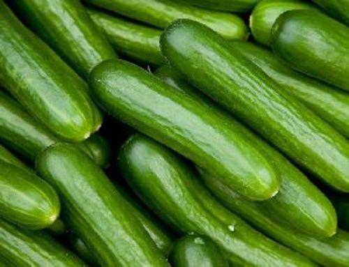 Fresh Green Cucumber for Food