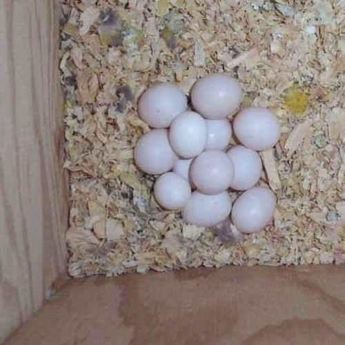 100% Natural Macaw Eggs