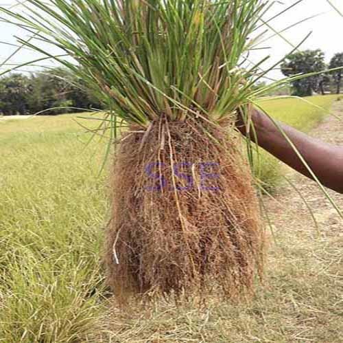 100% Natural Vetiver Root