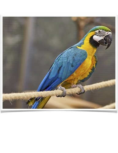 Hand Fed Blue and Gold Macaws