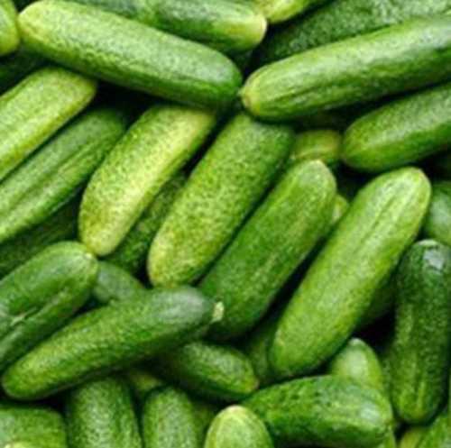 A Grade Fresh Cucumber