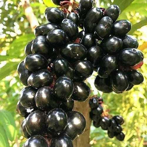 Healthy Jamun Plant