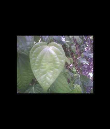 Natural Fresh Green Betel Leave