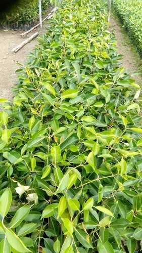 Organic Black Jamun Plant Size: 1-2 Feet.
