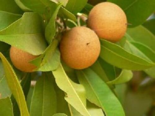 Brown Fresh Chikoo Fruits Size: Small