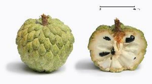 Fresh Green Custard Apple Size: Medium
