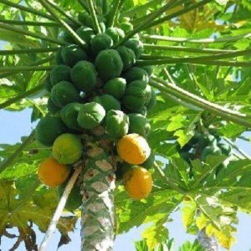 Green Fresh Papaya fruits