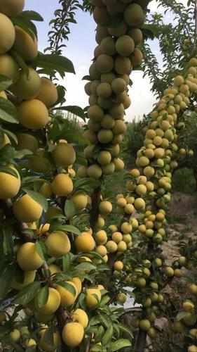Fresh Yellow Plum Fruit