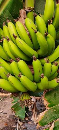 Fresh Green Banana Fruit Size: Vary