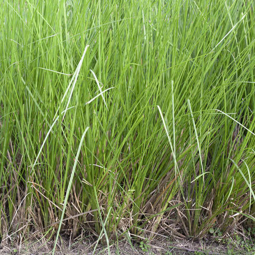 Natural Herbal Vetiver (Khus) Age Group: All Age Group