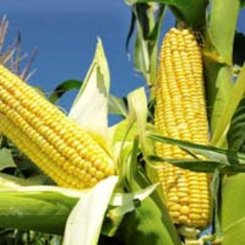 Organic Yellow Maize For Food Large Size