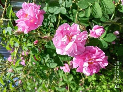 Natural Pure Kashmiri Rose Oil Age Group: Old Age