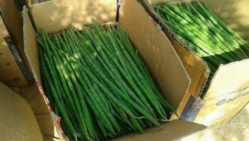Farm Fresh Green Drumstick