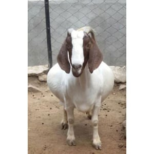 White And Brown African Boer Goat