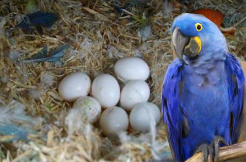 Premium Grade Fertile Parrot Eggs
