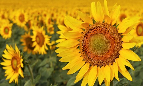 Sunflower Cooking Oil With Excellent Taste