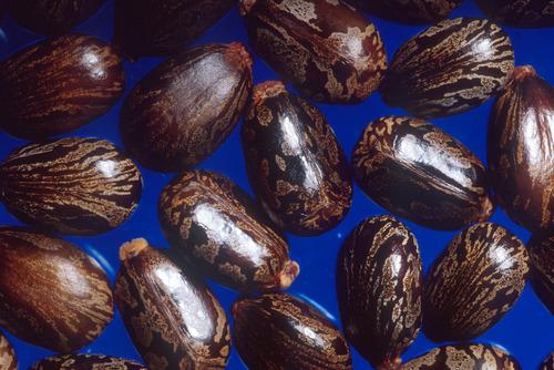 High Grade Castor Seed