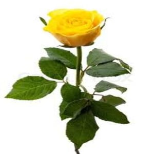 Natural and Fresh Solar Yellow Rose Flower
