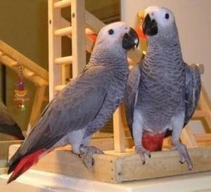 Dieases Free Live Parrots