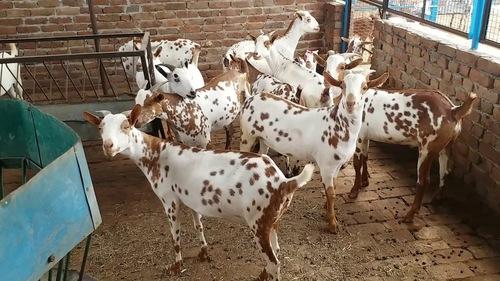 Live Boer Goat