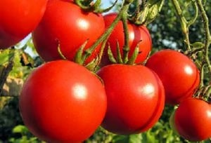 Fresh Organic Tomato for Cooking