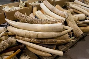 Quality African Elephant Ivory  For Sale