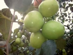 Well Watered Green Apple Ber Plants