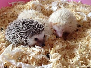 Lovely African Pygmy Hedgehogs and Birds