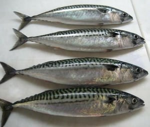 Healthy and Frozen Tilapia Fish