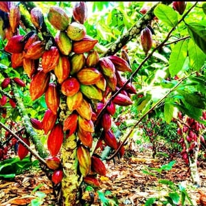 Natural Cocoa and Organic Cocoa Beans