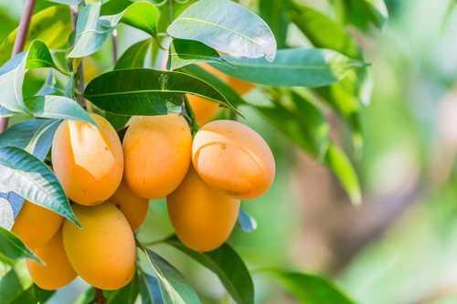 A Grade Fresh Indian Mangoes