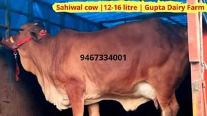 Sahiwal Cow for Dairy Use