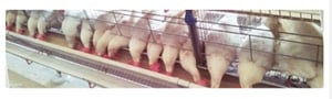Poultry Ordinary Battery Cages