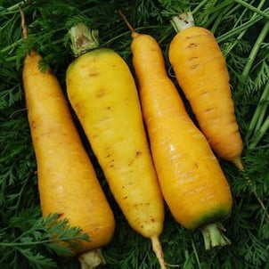 Good For Health Natural Fresh Yellow Carrot packed in Jute Sack PP Bags