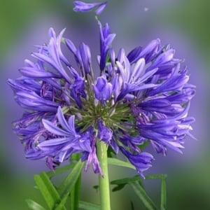 Lovely And Attractive Naturally Grown Shining Blue African Lily Flower