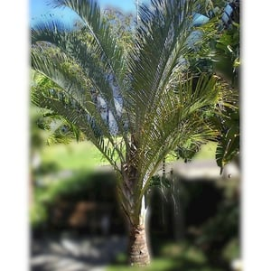 Organically Rooted And Grown Feather Shaped Full Of Leaves Green Palm Tree