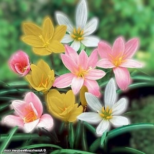Attractive Foliage And Big Flowers Landscape Beautiful Attractive Rain Lily Plant With Multicolor Flower
